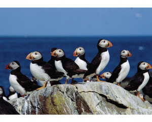 Jigsaw Puzzle of Puffins
