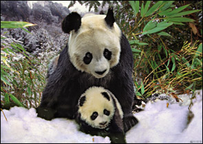 amazing-animals-pandas